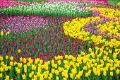 Multicolored Flower  Tulip Field In Holland