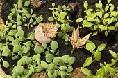 image of columbine  - Cuttings of poppy seed and Columbine  - JPG