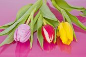 Three Tulips On Violet Background