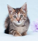 Beautiful Tricolor Kitten With Green Eyes Lurking Near Purple Flower