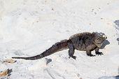 stock photo of dandruff  - Iguana on the island of iguanas in Cuba  - JPG