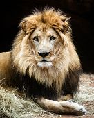 stock photo of female buffalo  - Portrait of make African lion sitting on ground - JPG