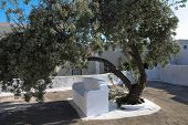 Olive Tree In Oia In Greece