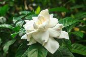 picture of gardenia  - beautiful Gardenia jasminoides flower on tree in garden - JPG