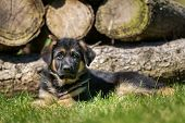 image of alsatian  - Six week old pedigree german shepherd puppy outdoors on a sunny day - JPG