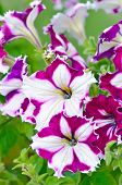 stock photo of petunia  - Purple with white petunia flowers close up view selective focus - JPG