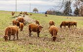 pic of cattle breeding  - Herd of brown cattles grazing in an autumn field - JPG