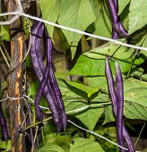 stock photo of long tongue  - Long pods purple beans - JPG