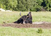 picture of yaks  - single yak lying on the green meadow - JPG