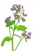 pic of borage  - Borage  - JPG