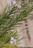 picture of xeriscape  - Beautiful bloom of Desert willow  - JPG
