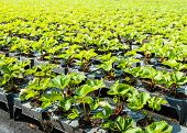 pic of strawberry plant  - Young strawberry plants ready to plant in a strawberry nursery - JPG