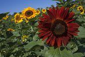 foto of virginia  - Yellow sunflowers against blue sky in Haymarket, Virginia ** Note: Shallow depth of field - JPG