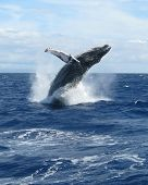 picture of water animal  - Portrait view of a Humpback Whale breaching in the waters of West Maui - JPG