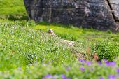 pic of marmot  - Marmot peeps out of the hole in an alpine meadow in summer mountains - JPG
