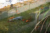 stock photo of koi fish  - Carp Koi - JPG
