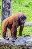 stock photo of orangutan  - Orangutan adult in the Sumatra island - JPG