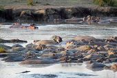 picture of hippopotamus  - Group of hippos (Hippopotamus amphibius) resting in a pool in Serengeti National Park Tanzania