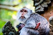 picture of macaque  - Long - JPG