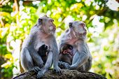 picture of baby-monkey  - Long tailed macaque monkeys breastfeeding their babies - JPG