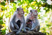 image of breastfeeding  - Long tailed macaque monkeys breastfeeding their babies - JPG