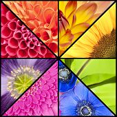 foto of windflowers  - Rainbow collage of red orange yellow green blue pink violet purple colors of Dahlia Sunflower Fern leaf Anemone Windflower Gerbera and Poppy flowers in closeup and in a square frame - JPG