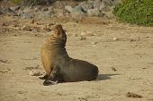 picture of sea lion  - The Gal - JPG