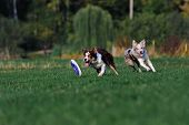picture of collie  - very funny Border collie doing tricks in the Park