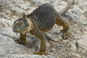 picture of ugly  - Charles Darwin described the Galapagos land iguana as ugly animals - JPG
