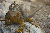 stock photo of ugly  - Charles Darwin described the Galapagos land iguana as ugly animals - JPG