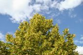 image of linden-tree  - linden tree thrives on a hot summer day  - JPG