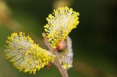 stock photo of willow  - Yellow willow flowers on the branch in spring forest. ** Note: Soft Focus at 100%, best at smaller sizes - JPG