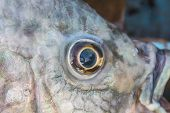 stock photo of fresh water fish  - Fish Eye Close Up of fresh water fish - JPG