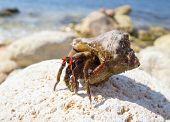 image of hermit  - the big hermit crab on stones in summer - JPG