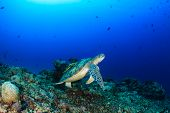 picture of green turtle  - Green Turtle with Remora swimming over tropical coral reef - JPG