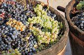 image of grape  - Harvesting grapes - JPG
