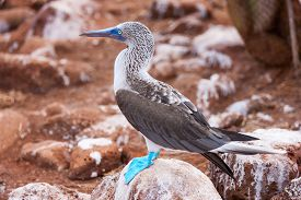image of boobies  - Close up of blue footed booby at Galapagos island of  North Seymour - JPG