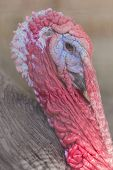 picture of gobbler  - Ugly breed of Wild Turkey close up nasty and scary looking - JPG