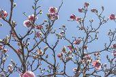 image of magnolia  - Beautiful spring bloom for magnolia tulip trees pink flowers  - JPG