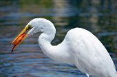 stock photo of koi fish  - White heron eating koi fish. The great egret (Ardea alba), also known as the common egret, large egret or (in the Old World) great white heron is a large, widely distributed egret