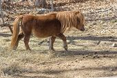pic of pony  - Brown pony tiptoes through farm yard in wide shot photo - JPG