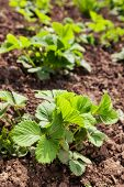 stock photo of strawberry plant  - green plant of strawberries in the garden - JPG