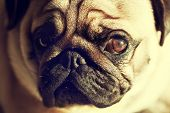 stock photo of sleeping  - Close up face of Cute pug puppy dog sleeping in sunshine - JPG
