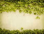 pic of ivy  - green ivy on old grunge antique paper texture - JPG