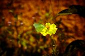 image of cosmos flowers  - yellow cosmos flower blossom in the garden - JPG