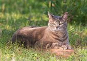 picture of blue tabby  - Blue tabby cat in a partial shade in spring - JPG