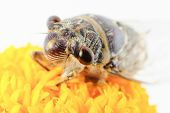 pic of marigold  - insect singing Cicada on a yellow marigold flower - JPG