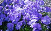 stock photo of viola  - Sweet purple violet flowers  - JPG