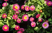 stock photo of may-flower  - Pink and yellow Bellis perennis flowers outdoors in May - JPG