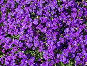 foto of abundance  - Purple Aubretia flowers full frame with an abundance of flowers in May - JPG